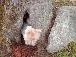 Fanou vérifie qu'il n'y a pas autre chose que la ciste dans cet arbre dont le propriétaire précise qu'il y a quelques années, un pépé du coin y planquait ses litres de rouge
